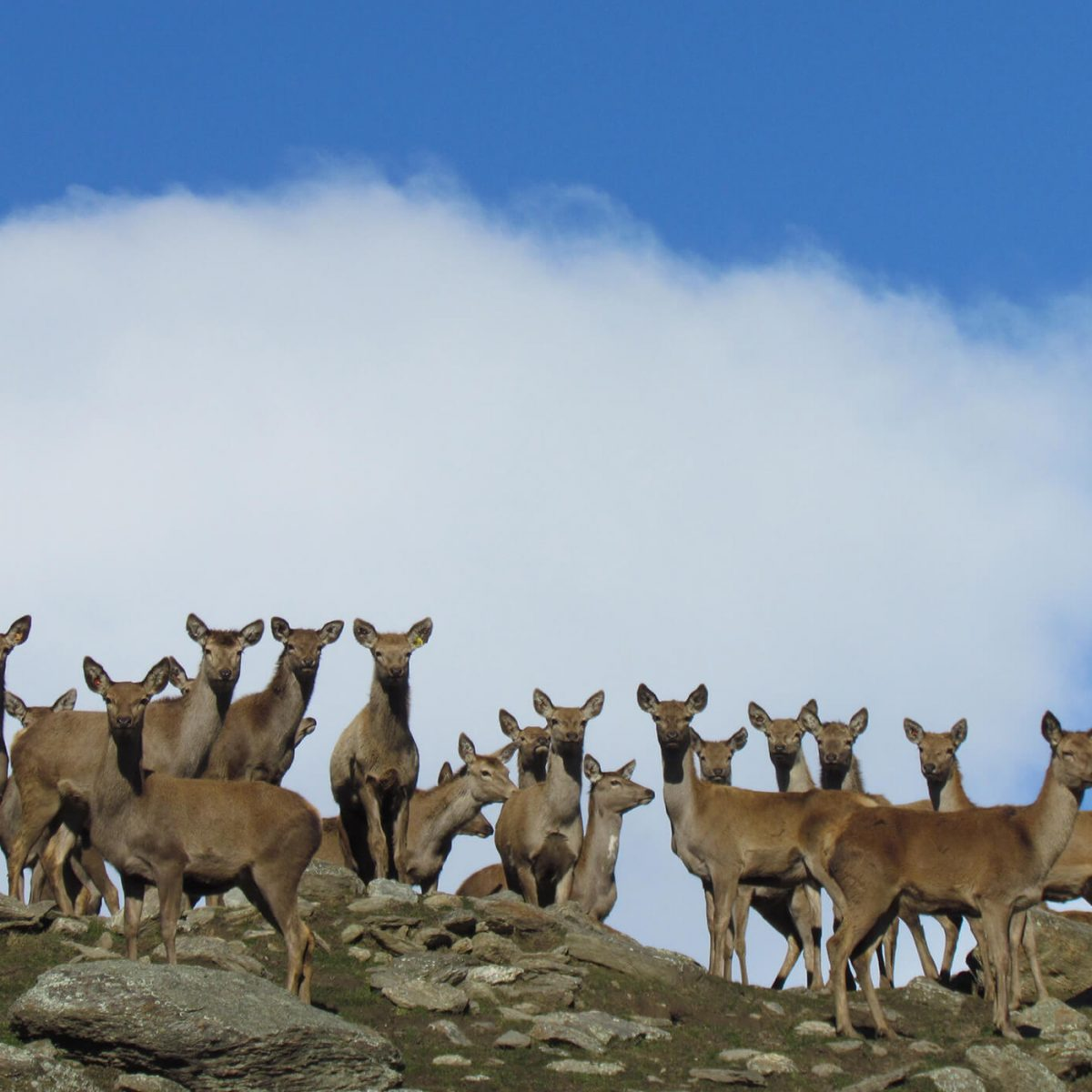 AbacusBio's web-based app helps deer farmers to set & monitor the liveweights of replacement hinds