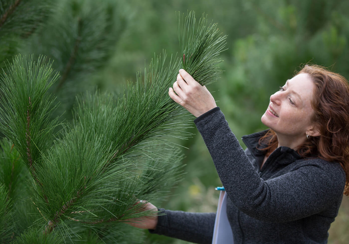 Cheryl Quinton examining the pine tree growth