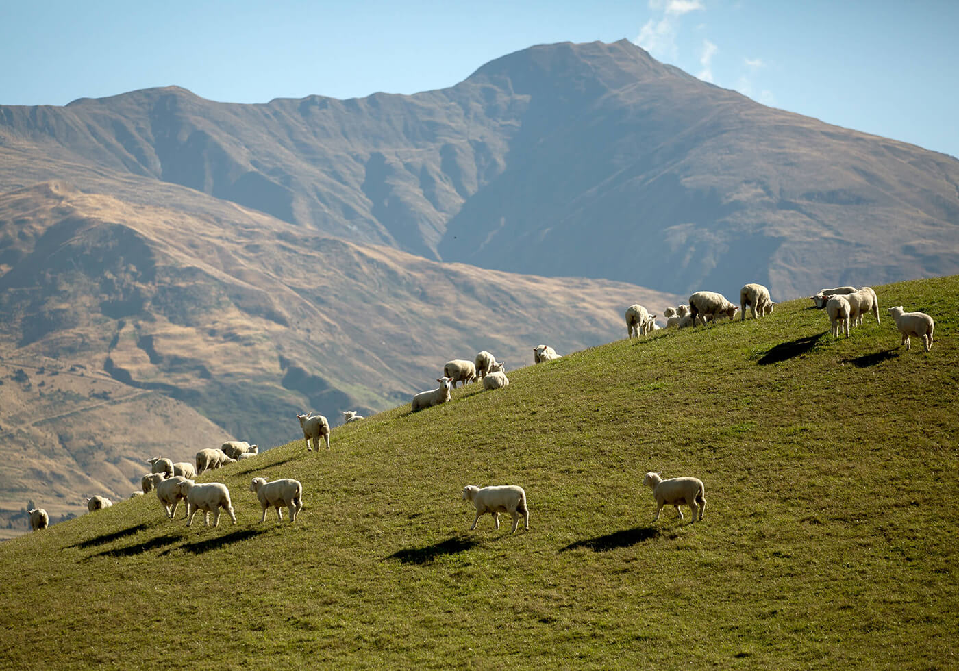 New Zealand sheep on farm