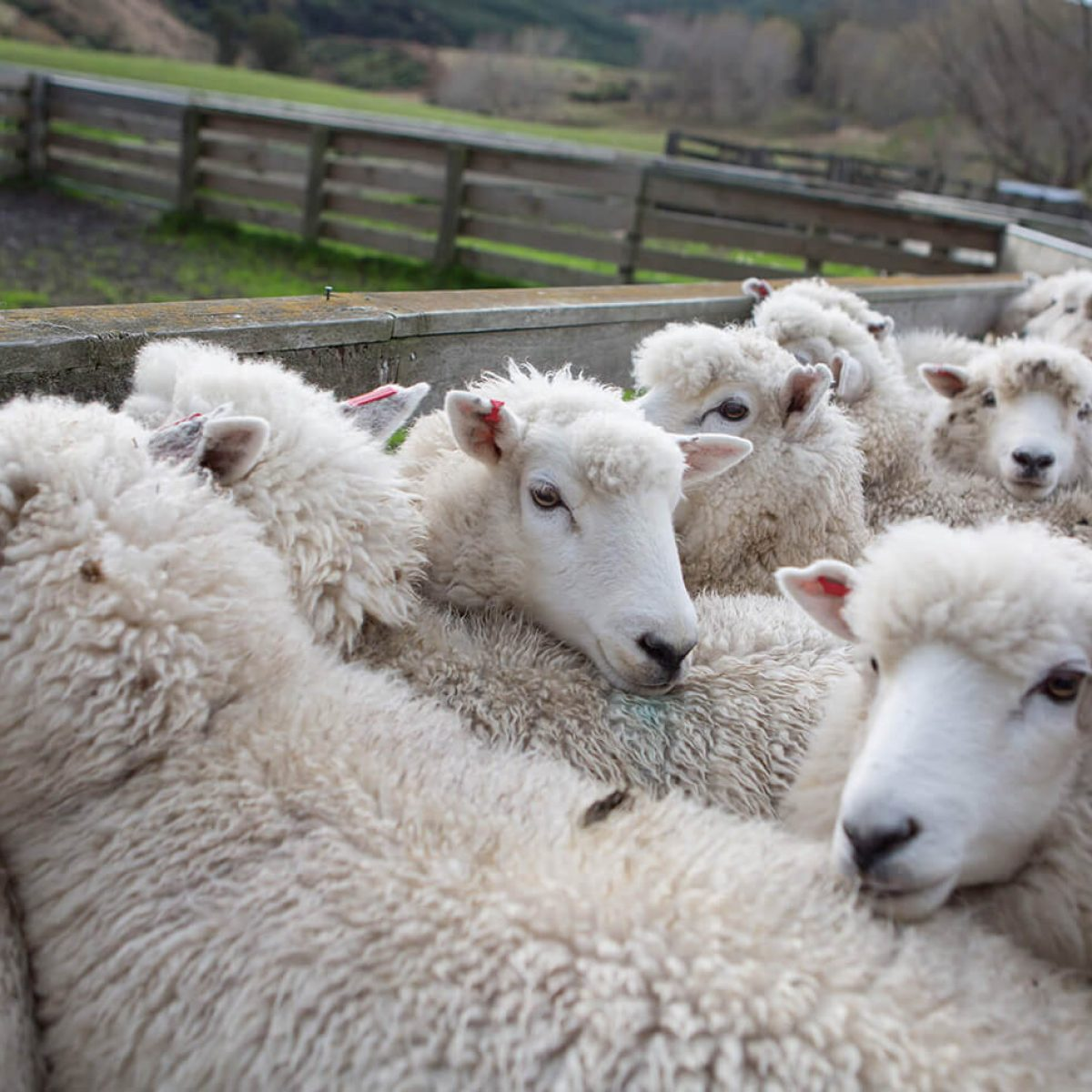 Penned sheep for inspection