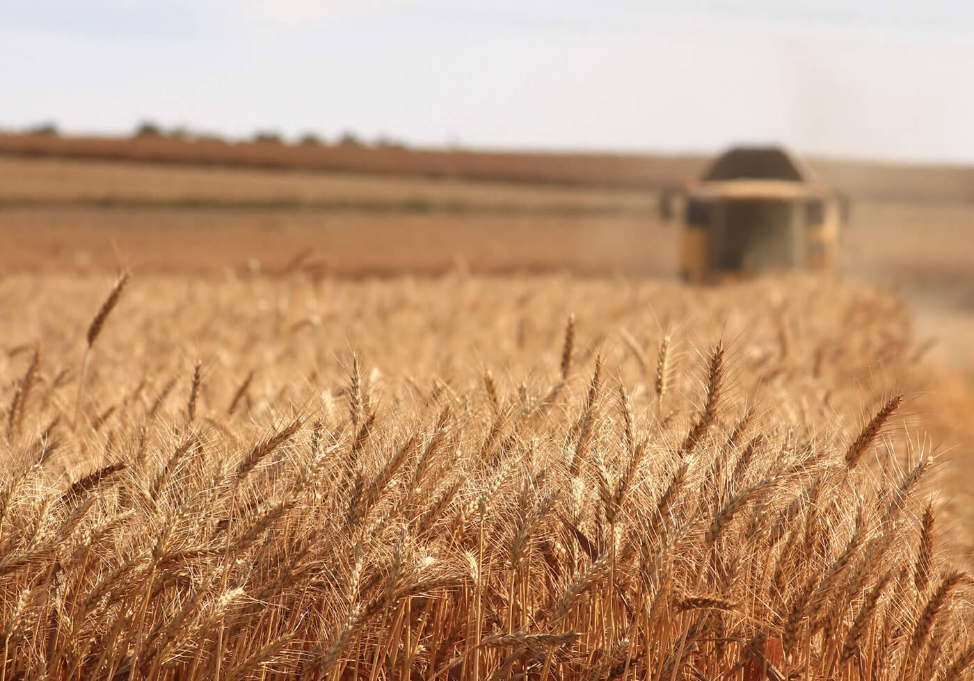 Harvesting wheat crop