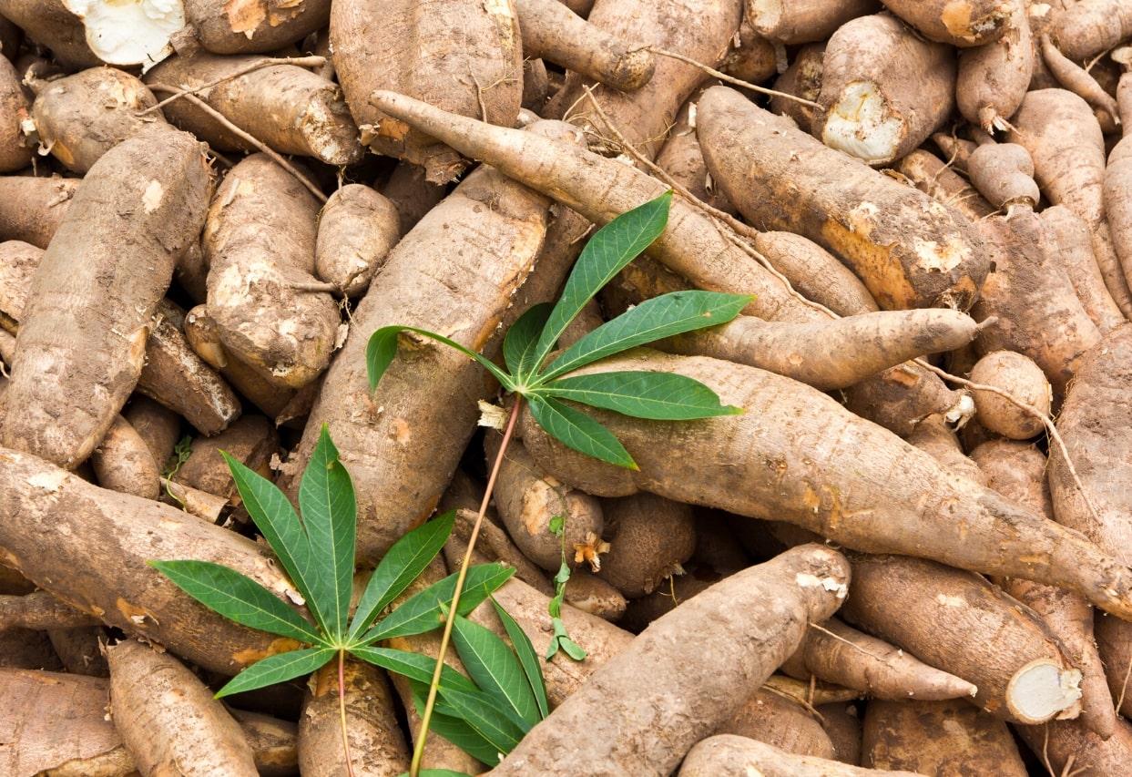 NextGen Cassava