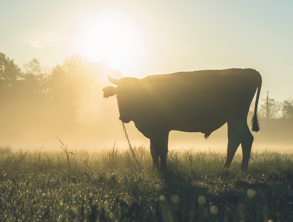 Beef Progeny Test