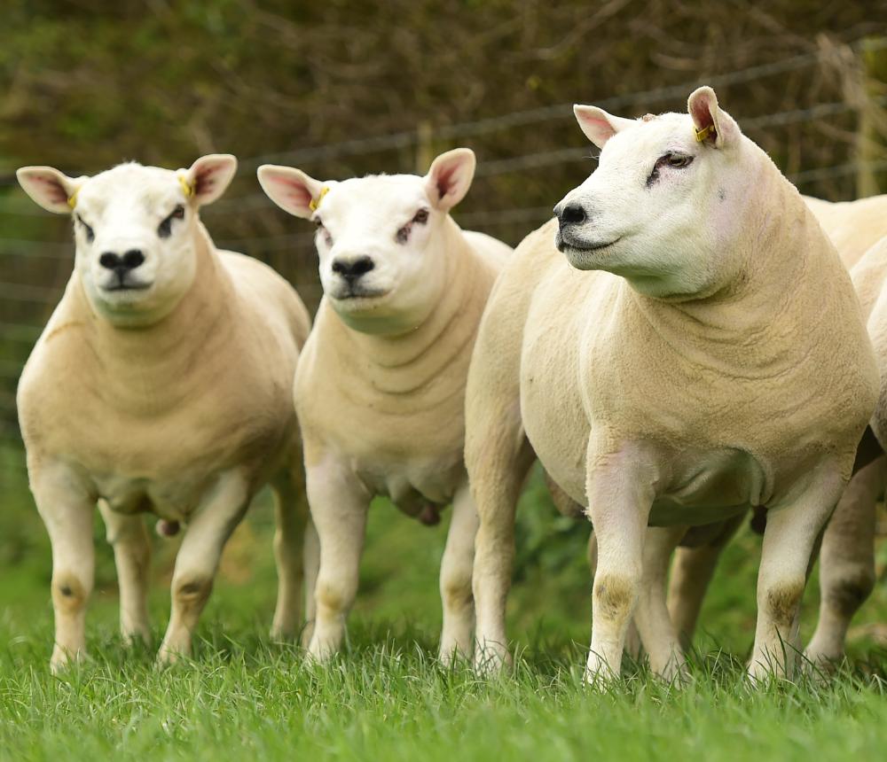 British Texel Sheep